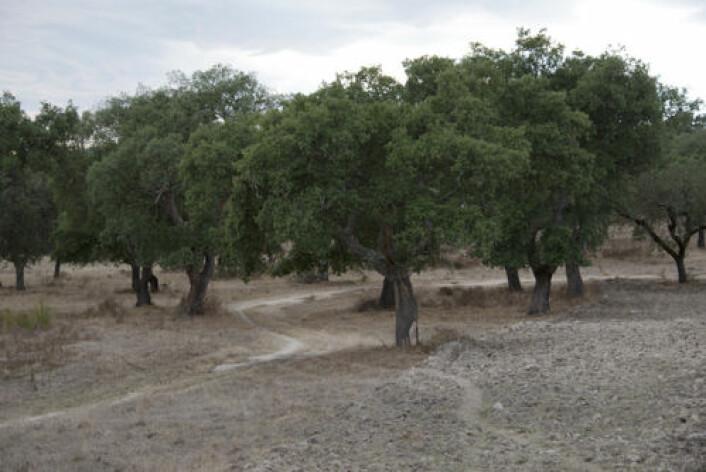 I Alentejo-regionen i Sør-Portugal ligger verdens største skog av korkeik. Foto: Colourbox