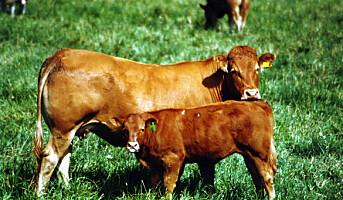 KIWI selger kjøtt fra grasfôra kyr