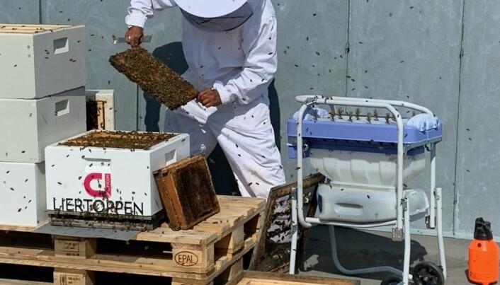 Birøkter Alexander Heier du Rietz i full sving med å håndtere biene i de fire kassene som inngår i hvert av to bisamfunn.